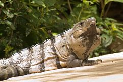 Green Iguana (Igana Iguana) Stock Photo