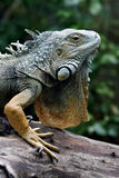Green iguana (Iguana iguana). Colorful Green iguana on a branch (Iguana iguana) with green bakground Stock Photography