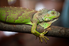 Green iguana - (Iguana iguana). Male green iguana on the fulcrum of a tree Stock Photos