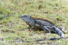 Green iguana, iguana iguana Stock Photo