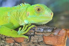 Green Iguana(Iguana iguana) Stock Photography