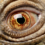Green Iguana - Iguana iguana (6 years old) Royalty Free Stock Images