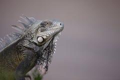 Green Iguana (Iguana iguana). Head shot Stock Image
