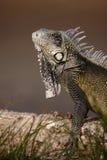 Green Iguana (Iguana iguana). On log Stock Photo
