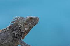 Green Iguana (Iguana iguana) Royalty Free Stock Photo