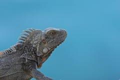 Green Iguana (Iguana iguana). Close-up with blue background Royalty Free Stock Photo