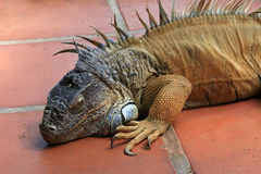 Green iguana, iguana iguana, also known as Common Iguana or American Iguana, El Salvador Stock Photo
