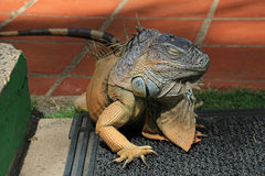 Green iguana, iguana iguana, also known as Common Iguana or American Iguana, El Salvador Royalty Free Stock Photo