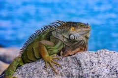 Free Green Iguana Iguana Iguana , Also Known As The American Iguana. Stock Photography - 214348532