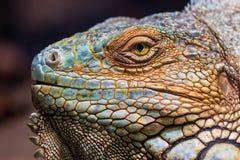 Green iguana (Iguana iguana) Stock Photos