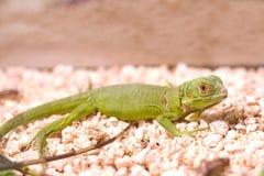 Green iguana (Iguana iguana) Stock Images