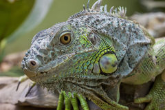Green Iguana (Iguana iguana) Stock Images