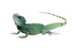 Green iguana(Iguana iguana) isolated on white Royalty Free Stock Image