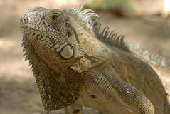 Green Iguana (Iguana iguana) Royalty Free Stock Photography