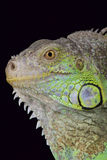 Green iguana / Iguana iguana rhinolopha Stock Photography