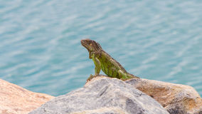 Green Iguana (Iguana iguana) sitting on rocks Royalty Free Stock Images