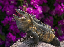 Green Iguana (Iguana iguana) Stock Photography