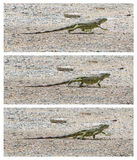Green Iguana (Iguana iguana) walking Royalty Free Stock Images