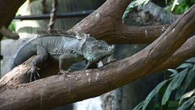 A green iguana iguana iguana walks along a tree branch in the rainforest. Showing off its full length body stock video footage