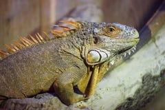 Green Iguana (Iguana iguana) On Wood Stock Images
