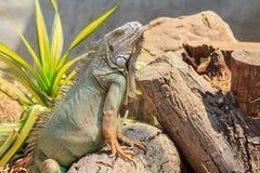 Green iguana (Iguana iguana) Stock Photo