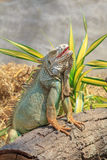 Green iguana (Iguana iguana) Royalty Free Stock Images