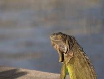 Green Iguana illuminated by the morning sun. Green Iguana looking over his shoulder illuminated in the morning sun Stock Images