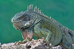 Green iguana stock photos