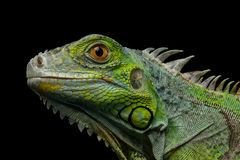 Green iguana isolated on black background. Close-up Head of Reptile, Young Green Iguana isolated on black background Stock Photography