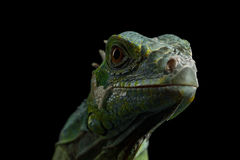 Green iguana isolated on black background. Close-up Head of Reptile, Young Green Iguana isolated on black background stock image
