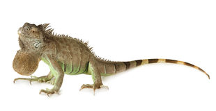 Green Iguana isolated on a white background Royalty Free Stock Images