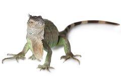 Green Iguana isolated on white background Royalty Free Stock Photos