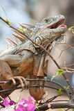 Green Iguana with its mouth open Royalty Free Stock Images