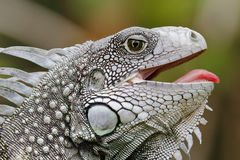 Green Iguana with its Mouth Open Stock Image