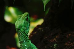 Green iguana in the jungle stock photos