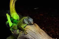 Green iguana Royalty Free Stock Images