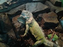 Green Iguana. Large lizard sitting on rocks Stock Images