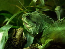 Green Iguana. Large lizard in terrarium (Gdansk Oliva ZOO, Poland Royalty Free Stock Photography