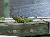 Green Iguana. Large , Nature Iguana Stock Images