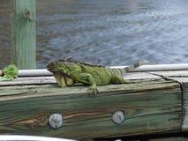 Green Iguana Stock Images