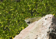 Green iguana. Royalty Free Stock Photo
