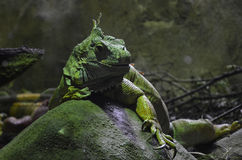 Green Iguana. Large green iguana sitting on a rock Stock Images