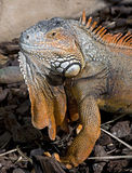 Green iguana 8 Royalty Free Stock Images