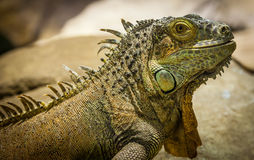 Green Iguana Stock Photo