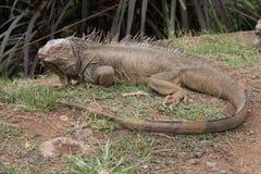 Green iguana. Green iguana laying on grass Royalty Free Stock Photos