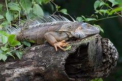 Green iguana. Stock Images