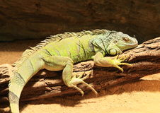 Green iguana. Lazy green iguana (Iguana iguana, also common iguana, family Iguanidae) lying and having rest on trunk royalty free stock photos