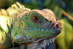 Green iguana lies and looks into the camera Royalty Free Stock Photo