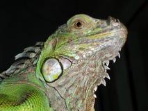 Green Iguana Lizard Royalty Free Stock Photos