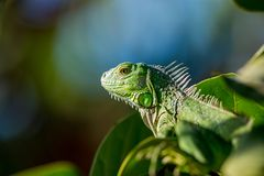 Green iguana lizard Stock Images